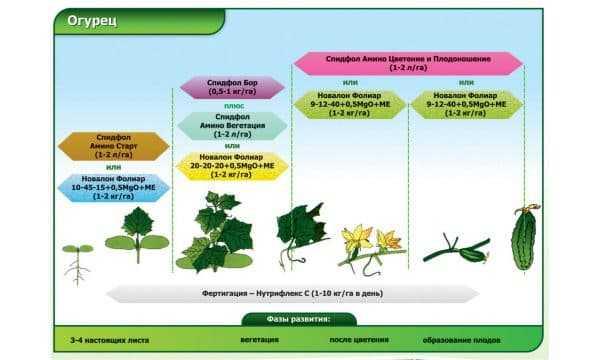 Фазы роста огурца